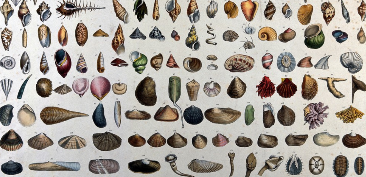 Mollusc shells: classification chart showing 132 varieties, with a diagram below outlining details of the three main shapes.